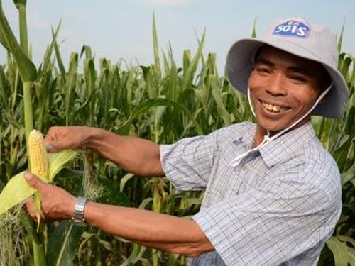 Ngô công nghệ sinh học chiếm 10% diện tích tại Việt Nam