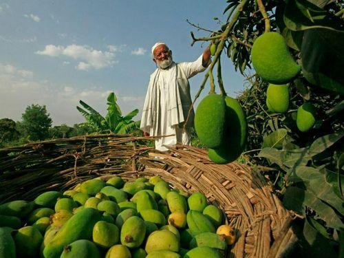 Cây xoài có 300 giống quả ở Ấn Độ