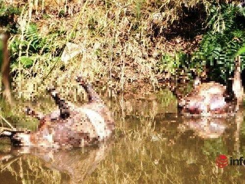 Kinh hãi xác lợn chết, bốc mùi hôi thối dọc khe nước ở Nghệ An