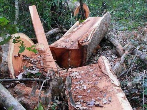 Xử phạt 37,5 triệu đồng đối tượng phá rừng tự nhiên ở Nghệ An