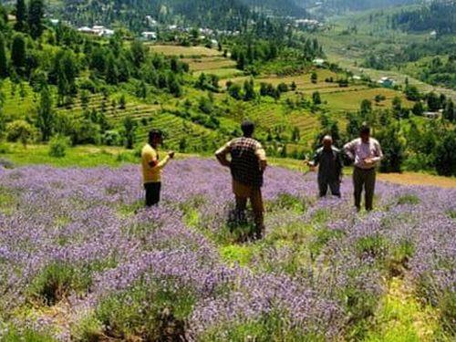 Ngôi làng hoa oải hương tràn ngập sắc tím ở Ấn Độ