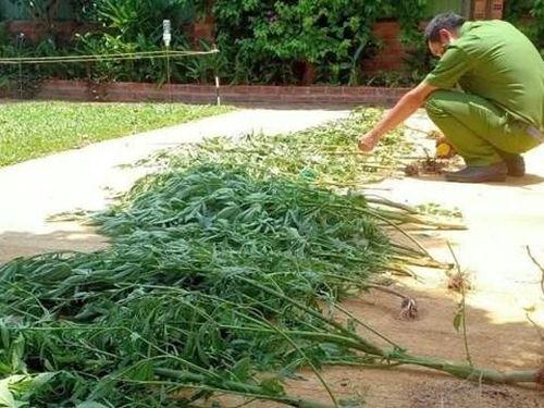 Quảng Nam: Người phụ nữ trồng cần sa trong vườn nhà để chữa mất ngủ