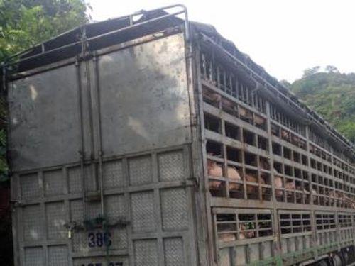 Đánh tráo cả xe lợn nhiễm dịch tả châu Phi bằng giấy tờ lợn khỏe