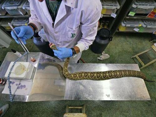 Kinh hoàng nghề mát xa rắn để vắt nọc độc chế huyết thanh