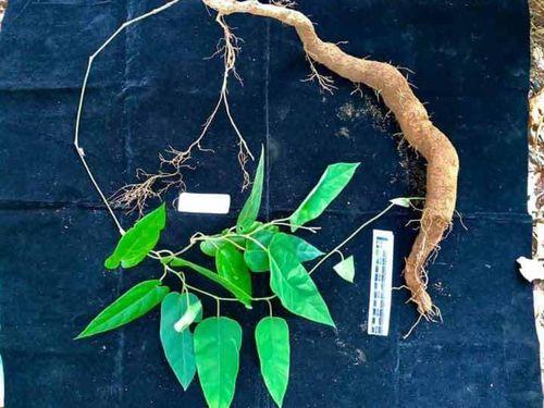 Phát hiện một loài thực vật mới tại Vườn quốc gia Vũ Quang