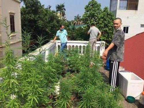 Phát hiện vườn cần sa trồng trái phép trên nóc nhà ở Hà Nội