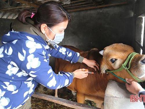 Hà Tĩnh: Nhiều địa bàn không phát sinh dịch bệnh trên gia súc sau 21 ngày