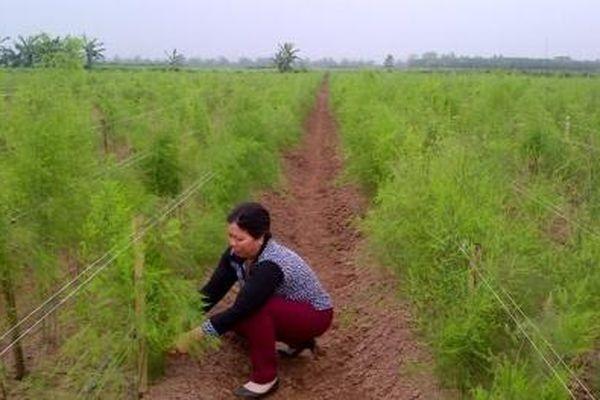 Hà Nội: Mô hình trồng măng tây xanh cho năng suất chất lượng cao