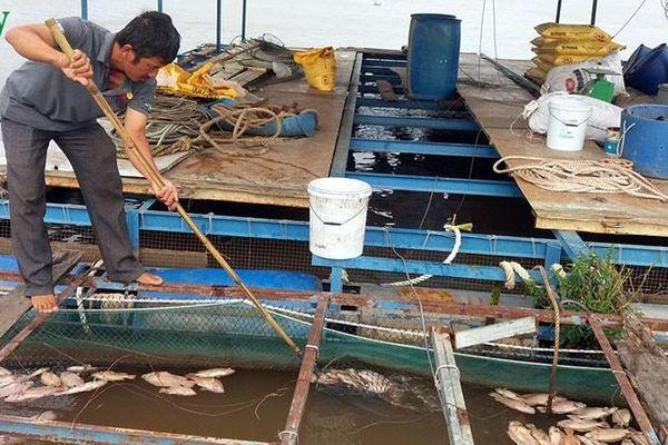 Người nuôi cá bè trên sông Tiền khốn đốn vì cá chết bất thường