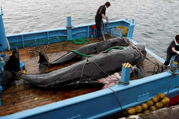 Bất chấp quốc tế phản đối, Nhật trở lại đánh bắt cá voi thương mại