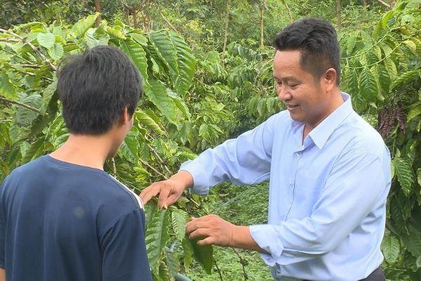 Giải tỏa nghi vấn cây cà phê bị vàng lá, rụng quả sau khi sử dụng phân bón