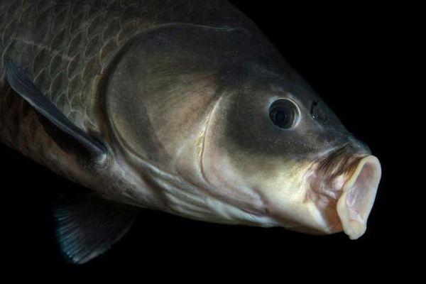Mỹ: Phát hiện cá trâu nặng hơn 10 kg sống tới 112 năm