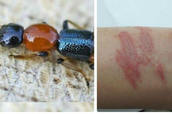 Cẩn thận kiến ba khoang khi mùa mưa đến