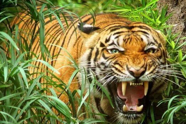 Cần chấm dứt nuôi nhốt, buôn bán hổ, báo và sư tử