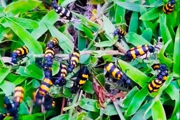 Thương lái thu mua bọ độc 3 sọc giá 'trên trời': UBND tỉnh Kon Tum chỉ đạo khẩn