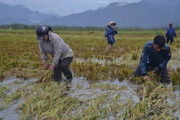 Thừa Thiên-Huế: Nông dân tất bật gặt lúa chạy lũ