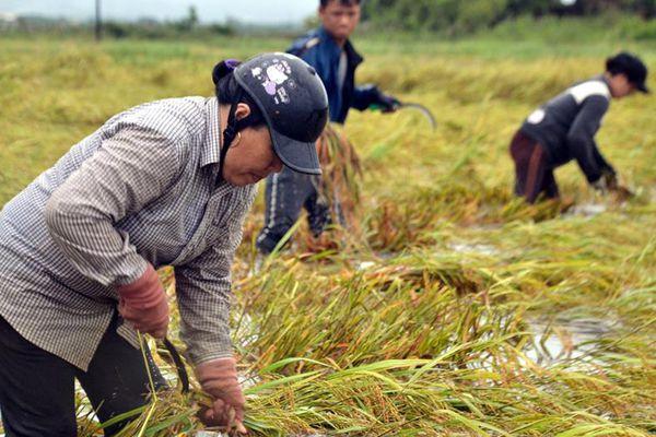 Gặt lúa, thu hoạch sắn chạy lũ