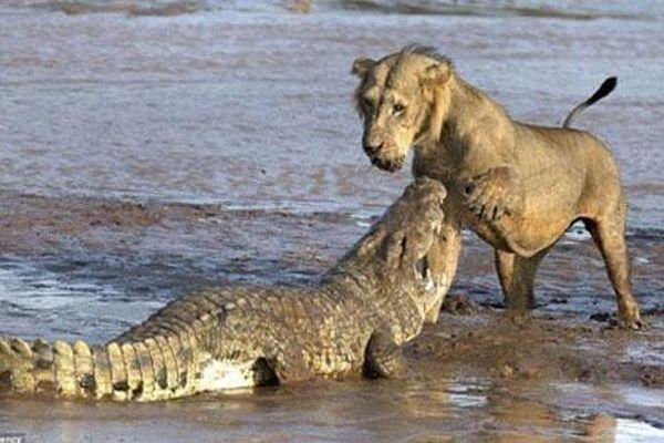 Sư tử đại chiến cá sấu và cái kết bất ngờ