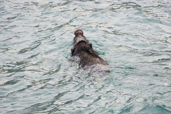Lợn rừng bơi hàng km, vượt eo biển Malacca để đổ bộ Malaysia