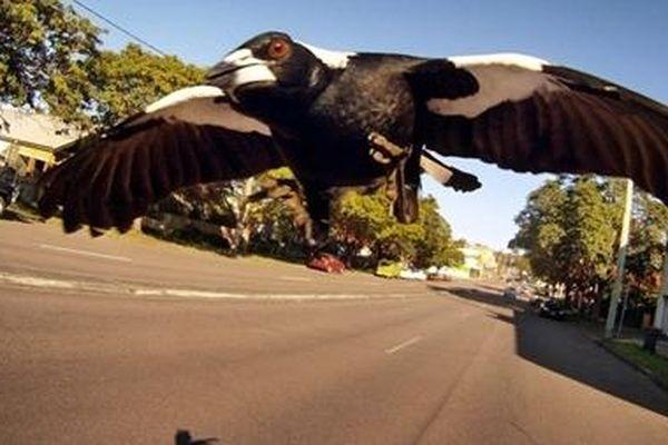 Người đàn ông đi xe đạp bị chim ác là 'đâm' tử vong