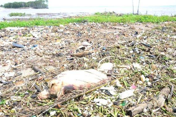 Phát hiện xác lợn chết trên bãi biển Gò Công