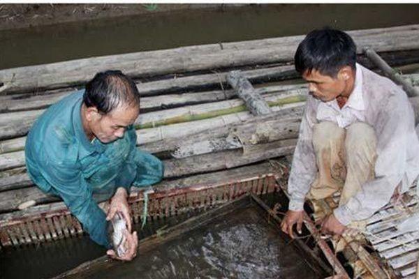 Tuyên Quang: Nuôi loài cá quý hiếm ở dưới sông, dân ở đây bán 600 ngàn/kg