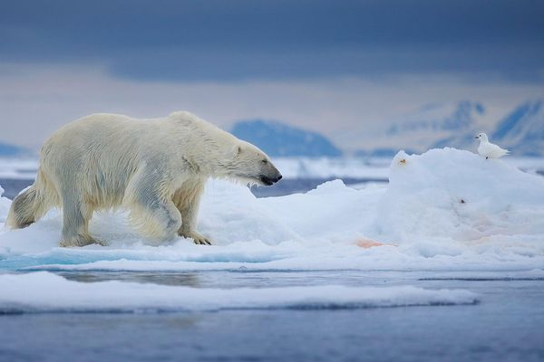 Băng tan thần tốc, gấu Bắc Cực đói ăn, bên bờ vực biến mất