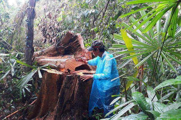 Thông tin mới nhất vụ 'xẻ thịt' rừng Trà Nú ở Quảng Nam