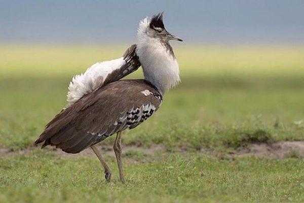 'Lác mắt' với loài chim 'đô con' vẫn bay vù vù