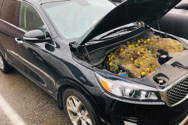Sóc tích trữ lương thực trong khoang máy ôtô, suýt gây cháy xe