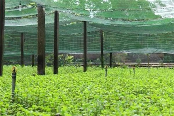 Long An: Làm giàu nhờ trồng rau gia vị an toàn