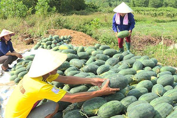 Nông dân Hoành Bồ thắng lợi vụ dưa hấu