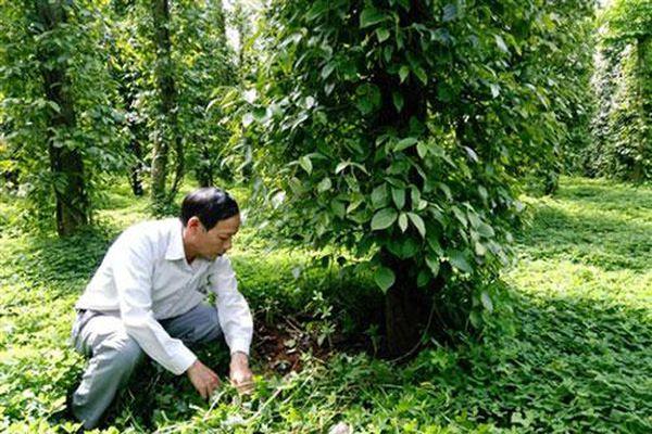 Bình Phước: Môi trường hưởng lợi nhờ trồng tiêu sạch