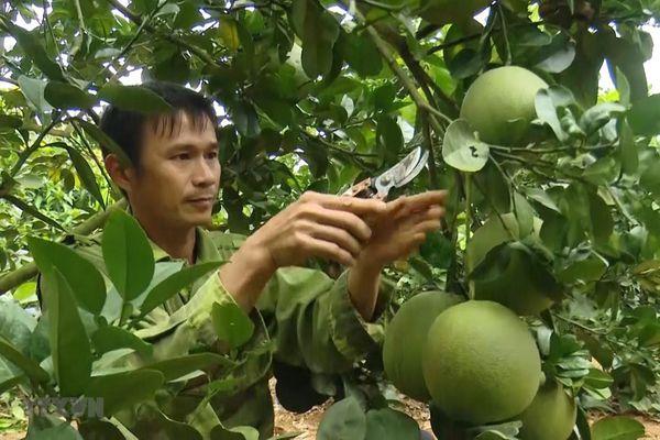 Sơn La: Xây dựng thương hiệu bưởi da xanh trên vùng đất Mai Sơn