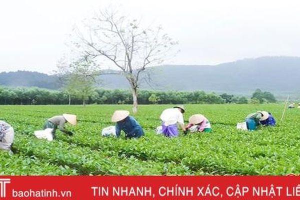 Cung ứng gần 600 tấn phân bón trả chậm cho chuỗi sản xuất chè ở Hà Tĩnh
