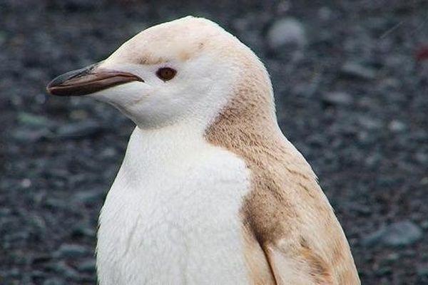 Phát hiện chim cánh cụt màu vàng hiếm hoi dọc bờ biển Nam Cực