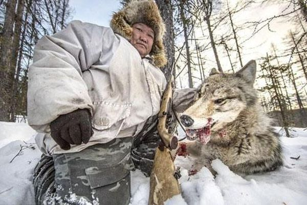 Kinh hoàng cảnh tượng sói xám bị săn giết không thương tiếc