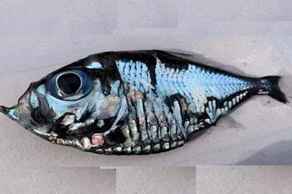 Cá Picasso 'gây sốt' vì giống hệt tác phẩm hội họa