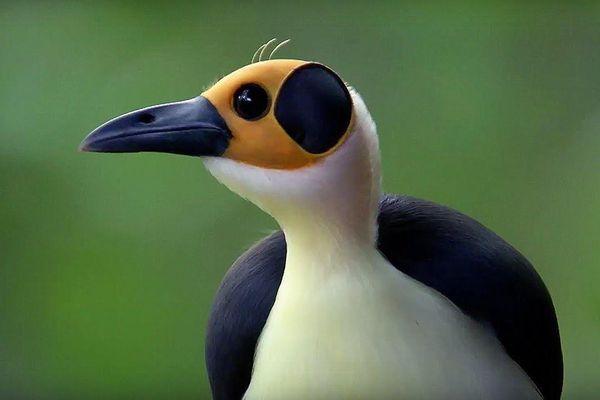 Loài chim sống ở Congo hơn 44 triệu năm