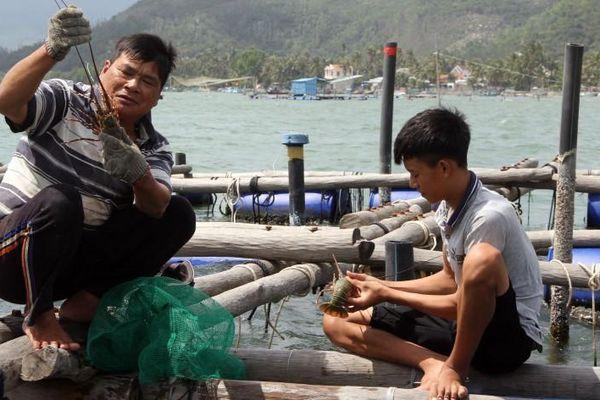 Phú Yên: Thông tin 'giải cứu' tôm hùm giá 200.000 đồng/kg là chưa chính xác