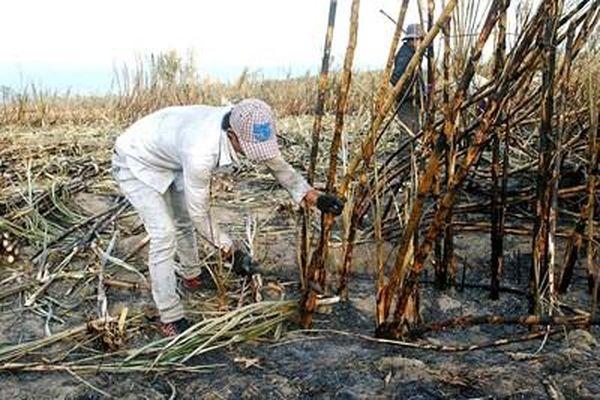 Liên tục xảy ra cháy mía, nông dân điêu đứng