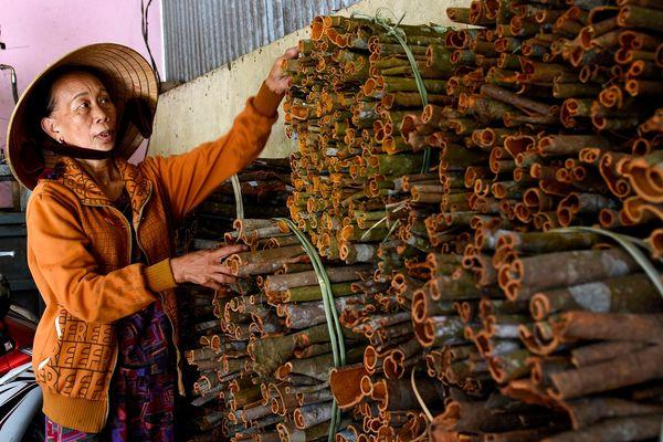Hàng nghìn người đổ xô vào rừng bóc vỏ quế