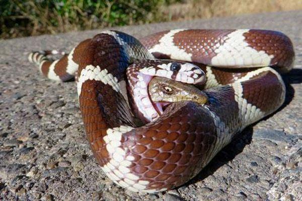 Bị rắn vua nuốt chửng, thằn lằn cá sấu vẫn cố ngoài người ra ngoài để cắn đối thủ