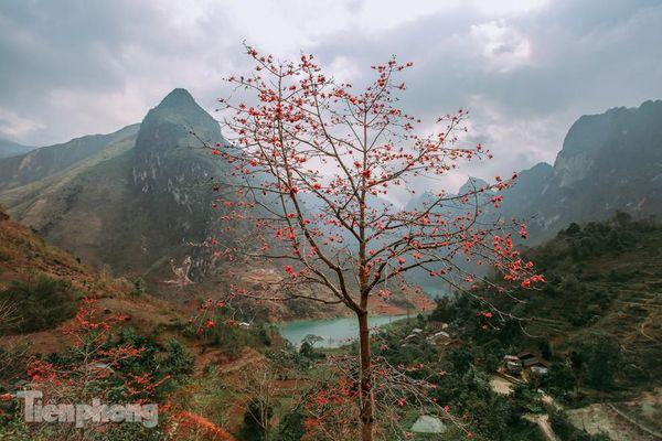 Ngẩn ngơ mùa hoa gạo vùng cao nguyên đá Hà Giang