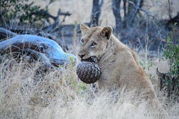 Đôi sư tử thử ăn thịt tê tê: 'Cuộc chơi bóng sắt'