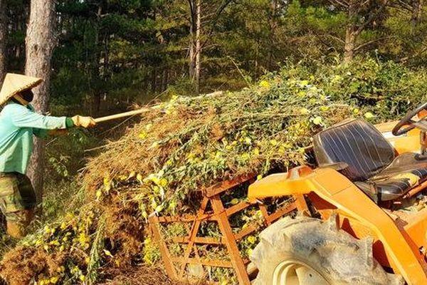 Nông dân Đà Lạt xót xa nhổ bỏ cả cánh đồng hoa cúc vì bán chẳng ai mua
