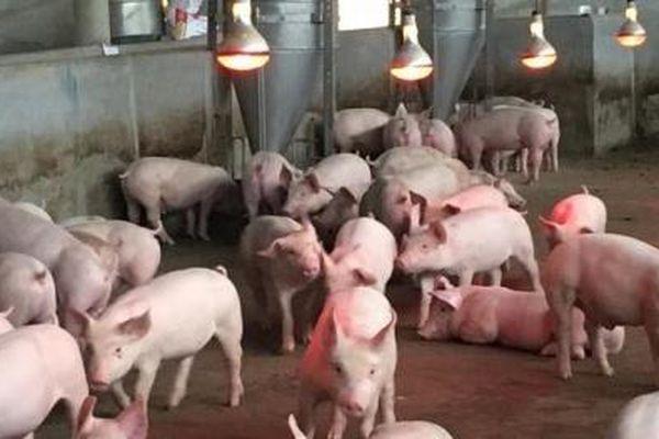 Giá heo hơi ngày 20/03/2020: Một số tỉnh giá thịt lợn giảm sâu
