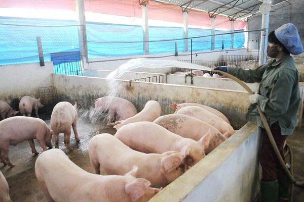Ở nơi lợn được nghe nhạc, ăn tảo xoắn