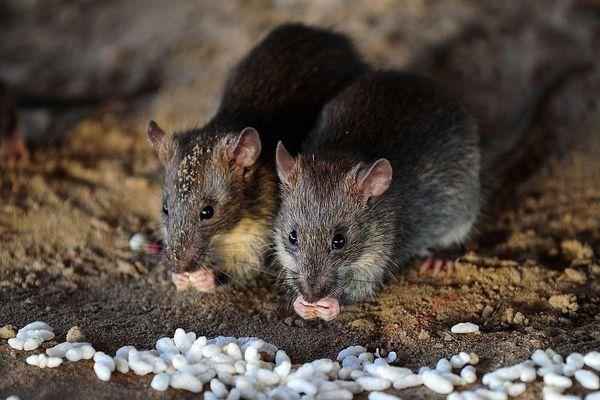 Nghìn con chuột xâm chiếm đường phố ở Bangkok