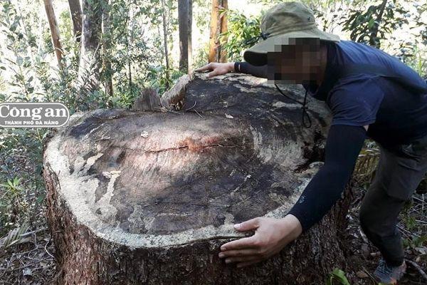 Tan hoang rừng thông 5 lá cổ thụ